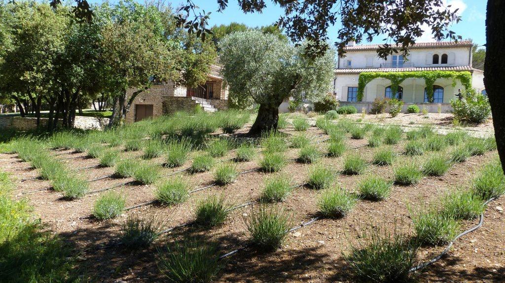 Champs-de-lavandes-et-olivier