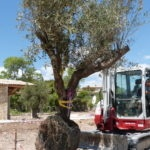 plantation olivier Gordes
