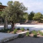 plantation d'un olivier et de lavandes