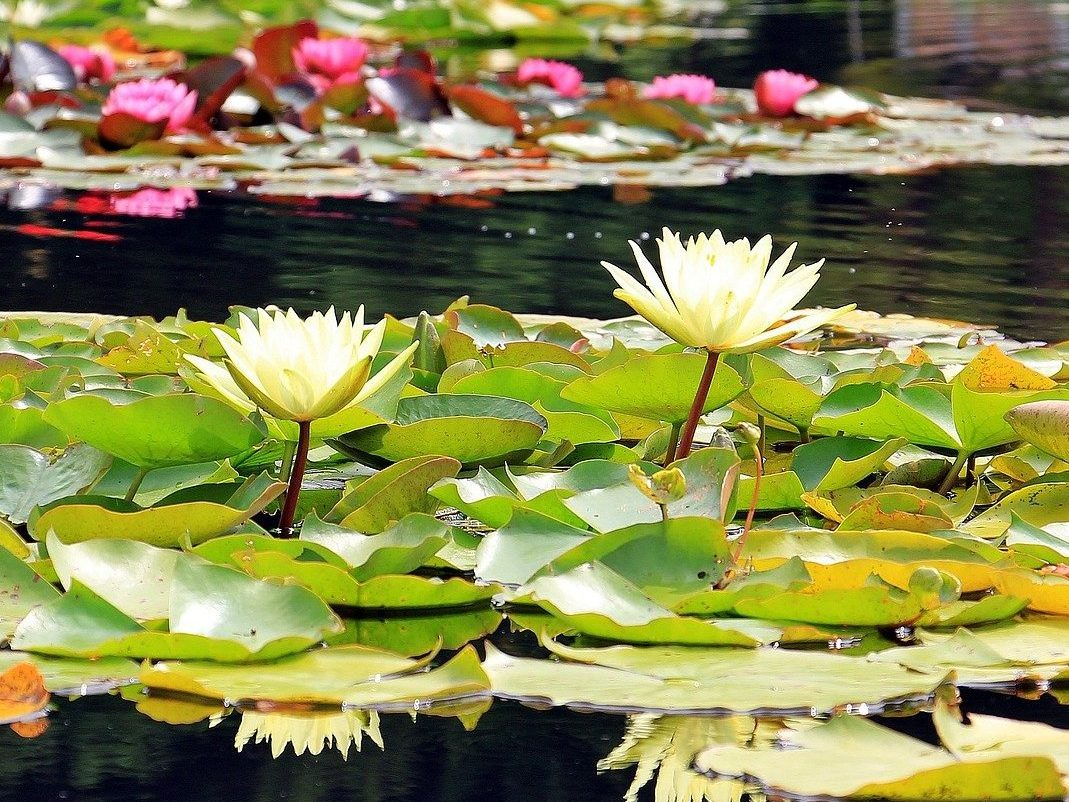 nénuphar jaune plante aquatique bassin agrément paysagiste
